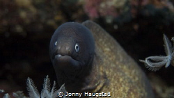 White eyed Moray by Jonny Haugstad